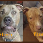 Paco and Slayer, The Pittie Tag Team