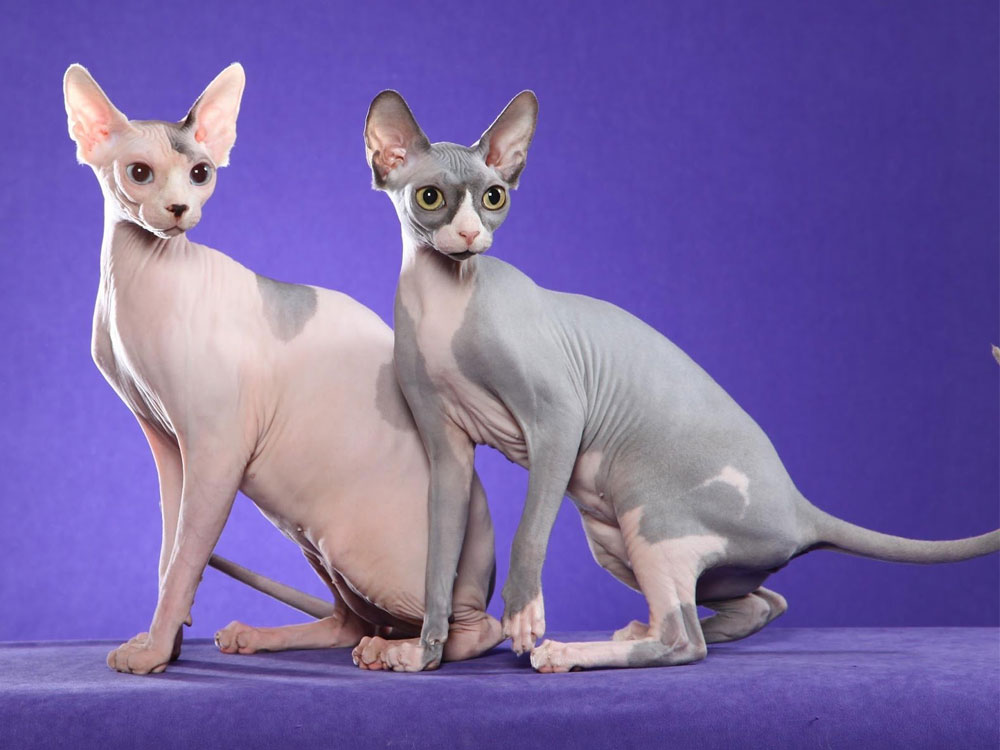 sphynx one of The 5 Cat Breeds That Love You Best