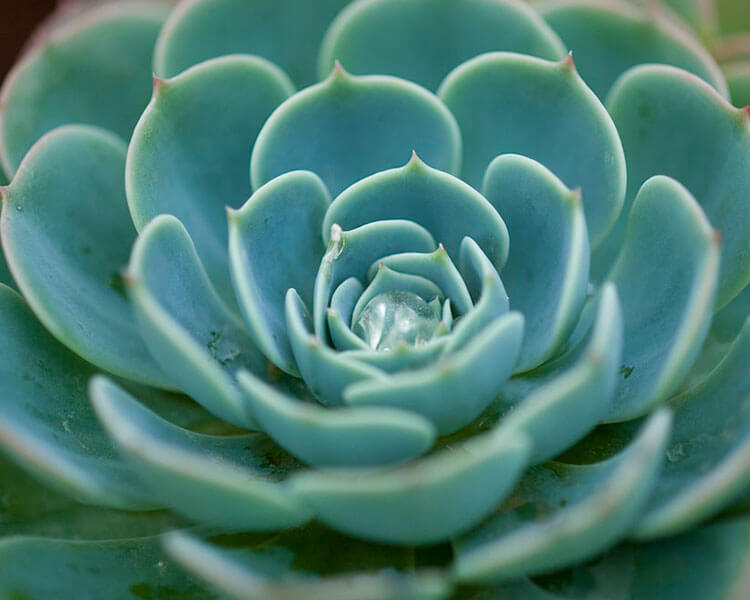 a succulent plant which is poisonous for pets