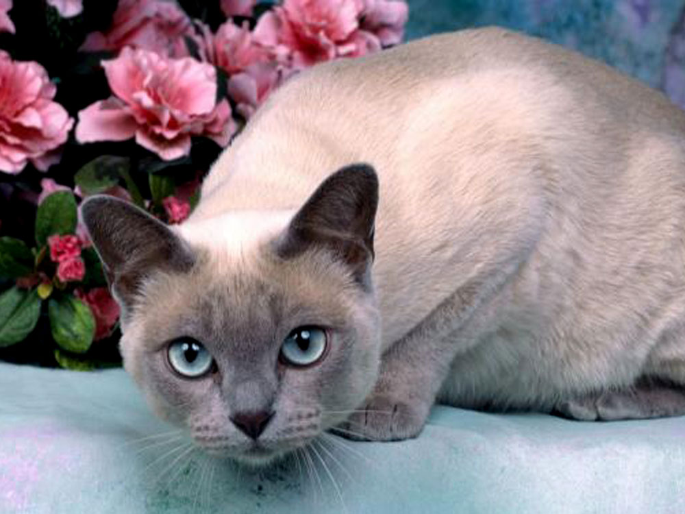 tonkinese one of The 5 Cat Breeds That Love You Best