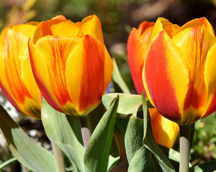 tulips, a poisonous flower for pets