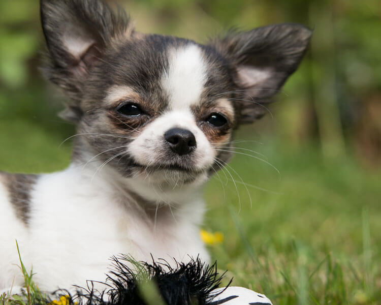a chihuahua that can stay longer alone at home
