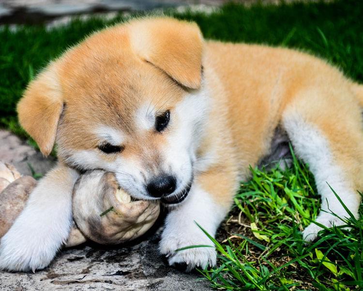a puppy biting a dirty stuff