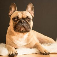 Dog Breeds That Can Better Tolerate Being Home Alone