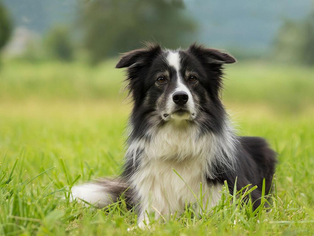 Border collie dog sitting in a grass field