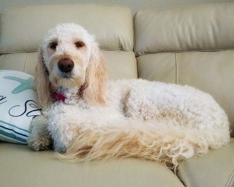 dog resting on a sofa