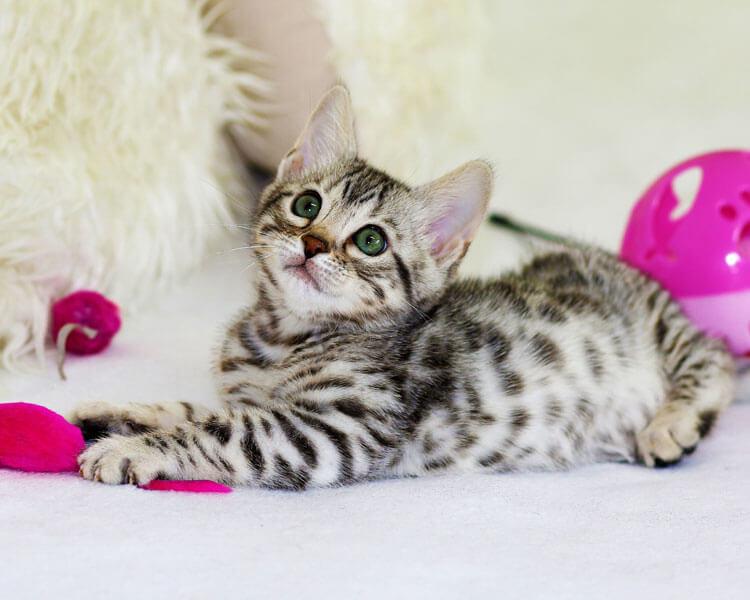 kitten playing toys
