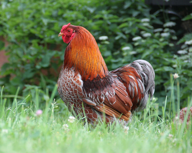 wyandotte, one of the most popular chicken breed