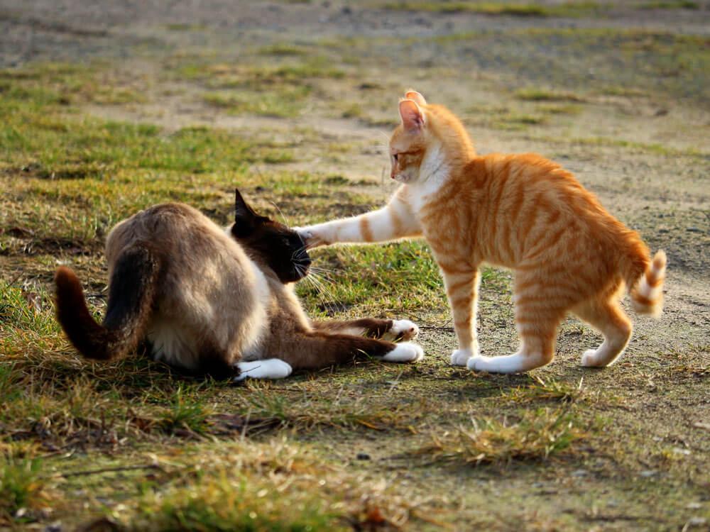 an aggressive cat vs a hissing cat
