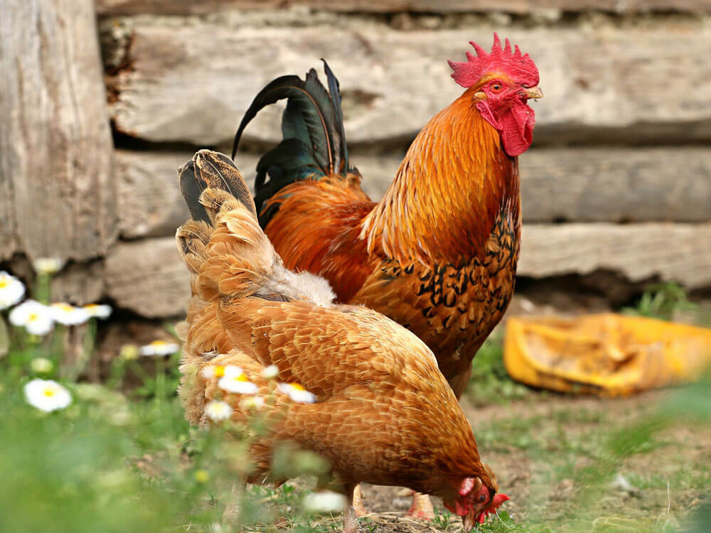 the right and the most popular chicken breed