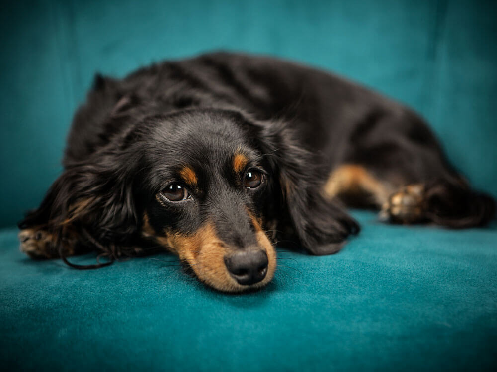 dog with diabetes lying in a couch