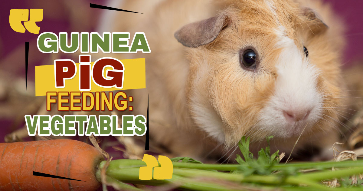 What Can Guinea Pigs Eat? 11 Best Vegetables to Feed|UK Pets