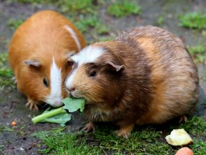 What Are The Best Vegetables Can Guinea Pigs Eat?