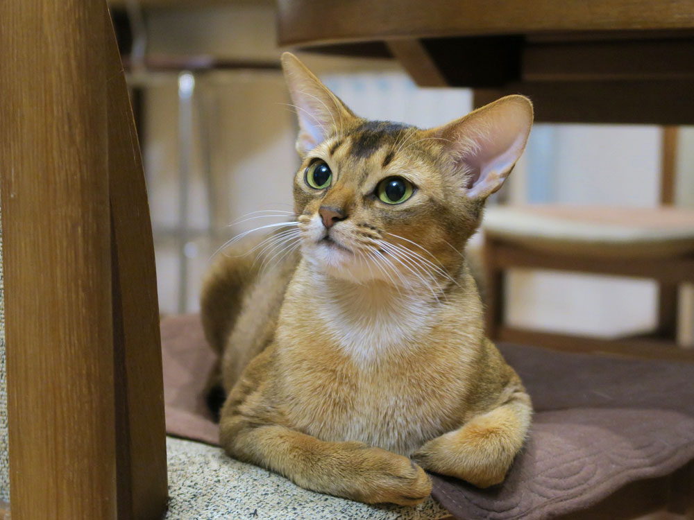 abyssinian, one of the smartest cat breed