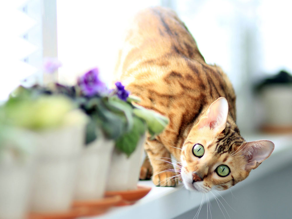 bengal, one of the smartest cat breed