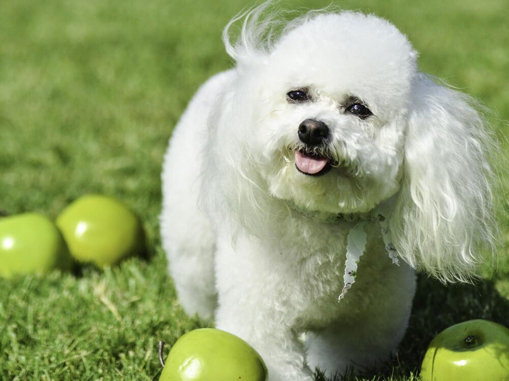 bichon frise, one of the cuddliest dog