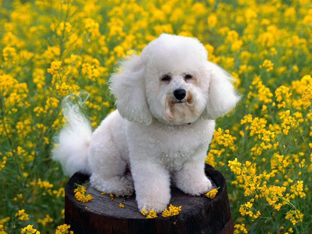 Bichon Frise, one of the best small dogs.