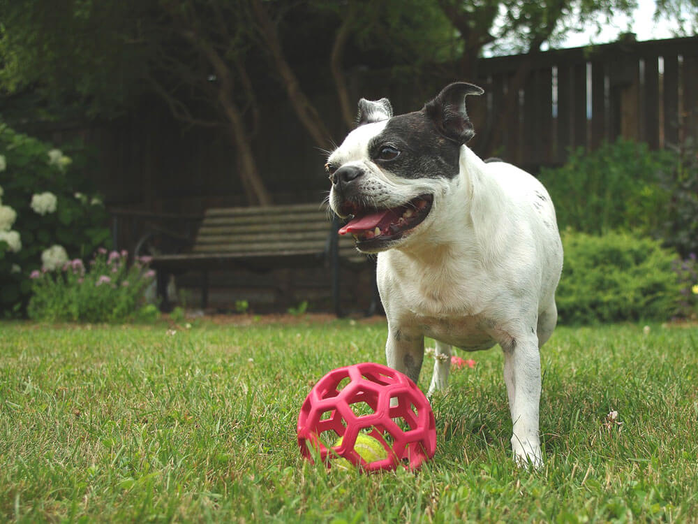 Boston Terrier, one of the best small dogs.