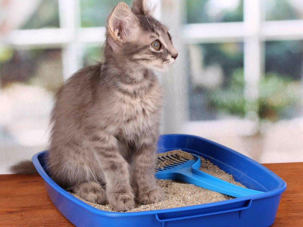 a cat having diarrhea, sitting comfortably in a litter box