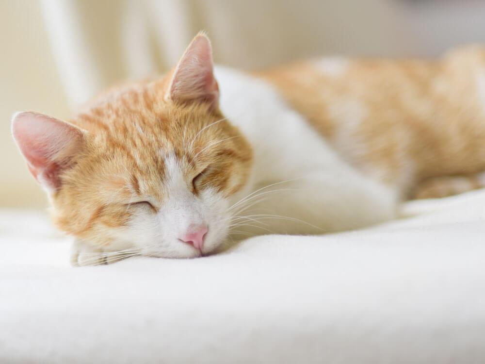 sick cat lying due to acute diarrhoea