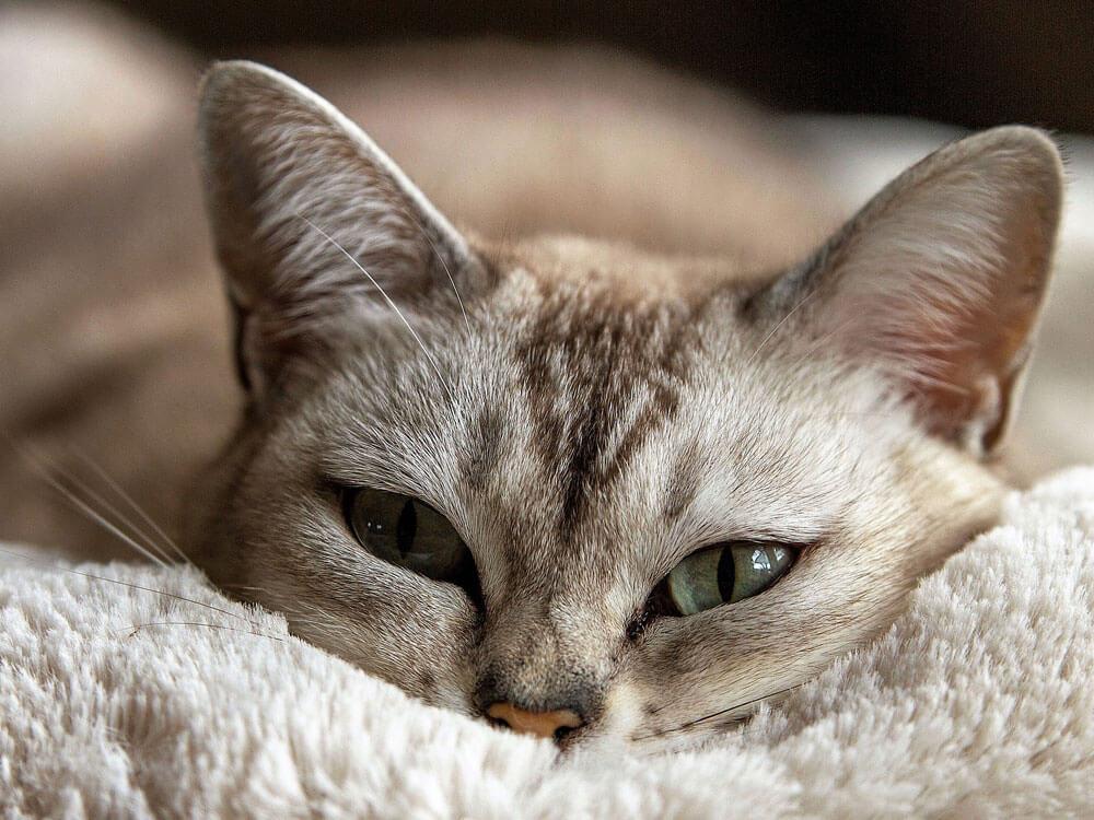 a sluggish cat lying due to diarrhoea