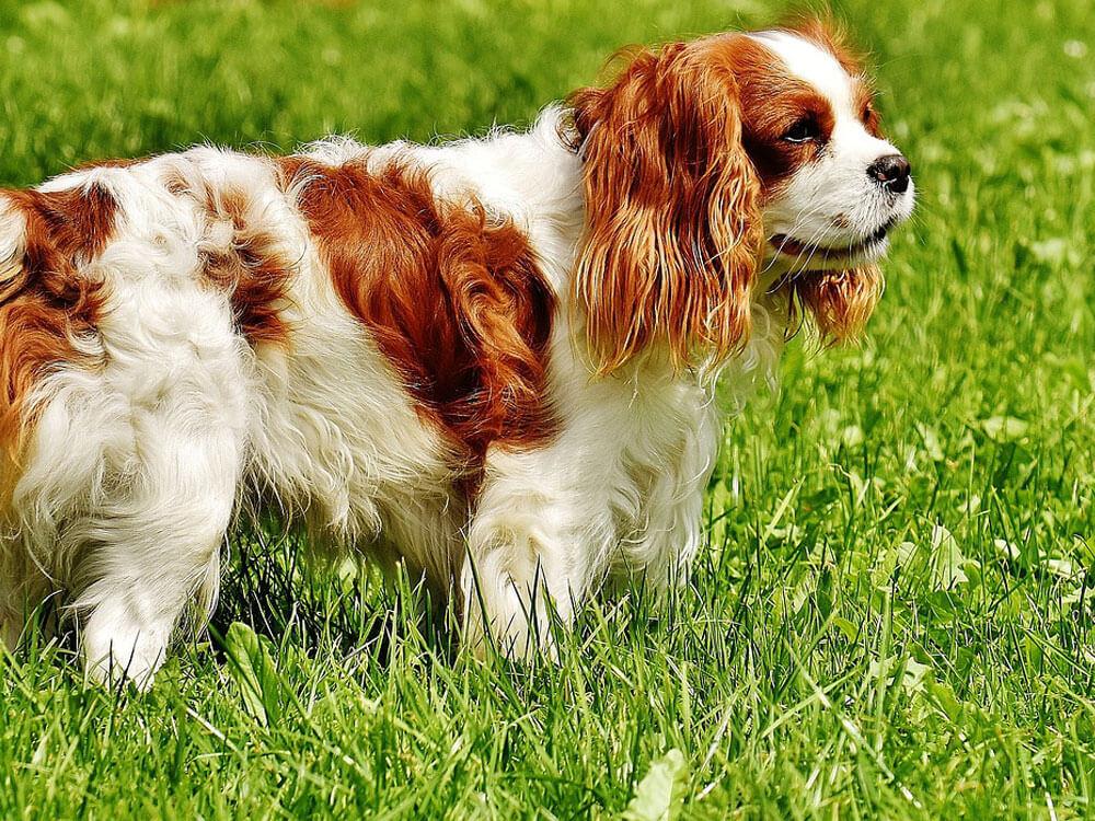 cavalier king charles spaniel, one of the cuddliest dog
