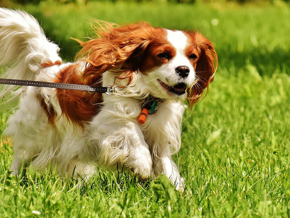 Cavalier King Charles Spaniel, one of the best small dogs.