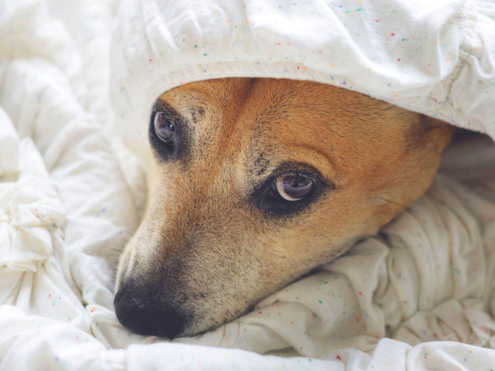 a dog with urine infection, lie comfortably in bed