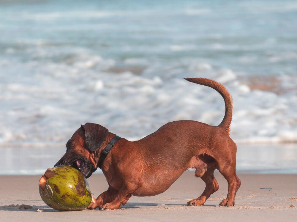 a dog biting a coconut