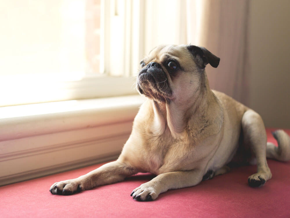 a dog with constipation, sitting near the window