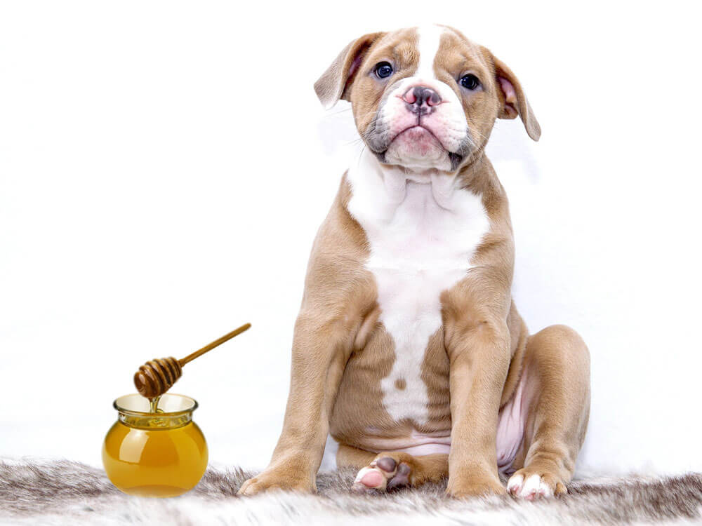 manuka honey, a remedy for a dog having a pyometra