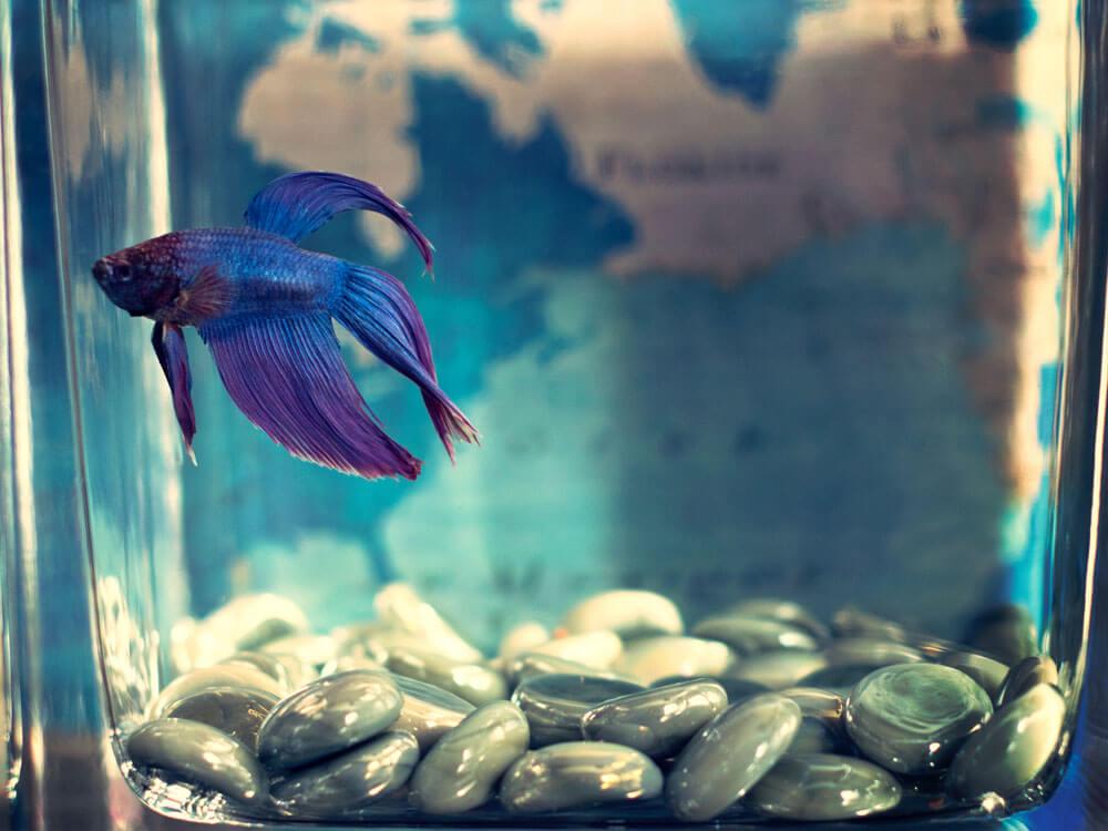purple fish in a bowl