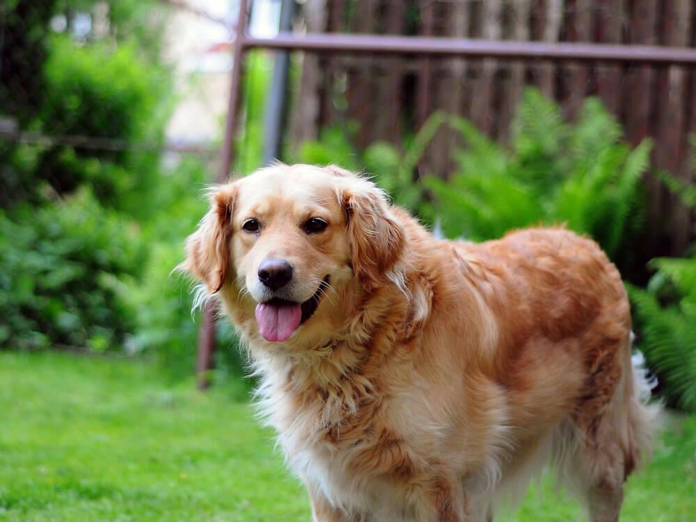 golden retriever, one of the cuddliest dog