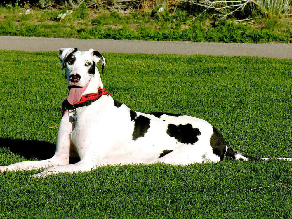 great dane, one of the cuddliest dog
