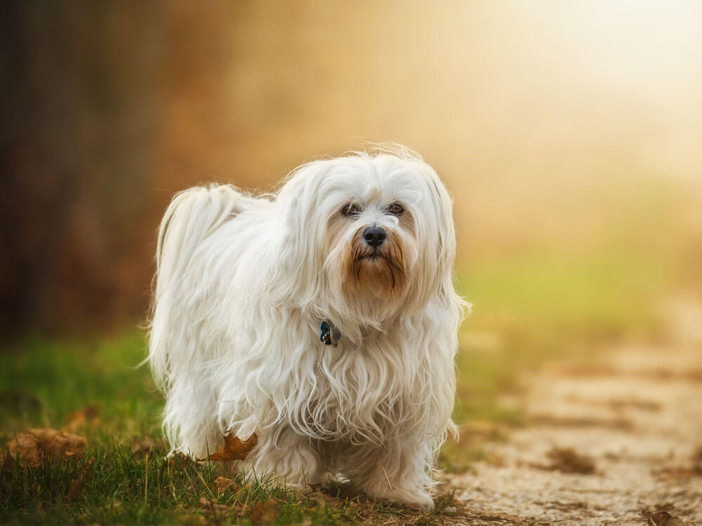 Havanese, one of the best small dogs.