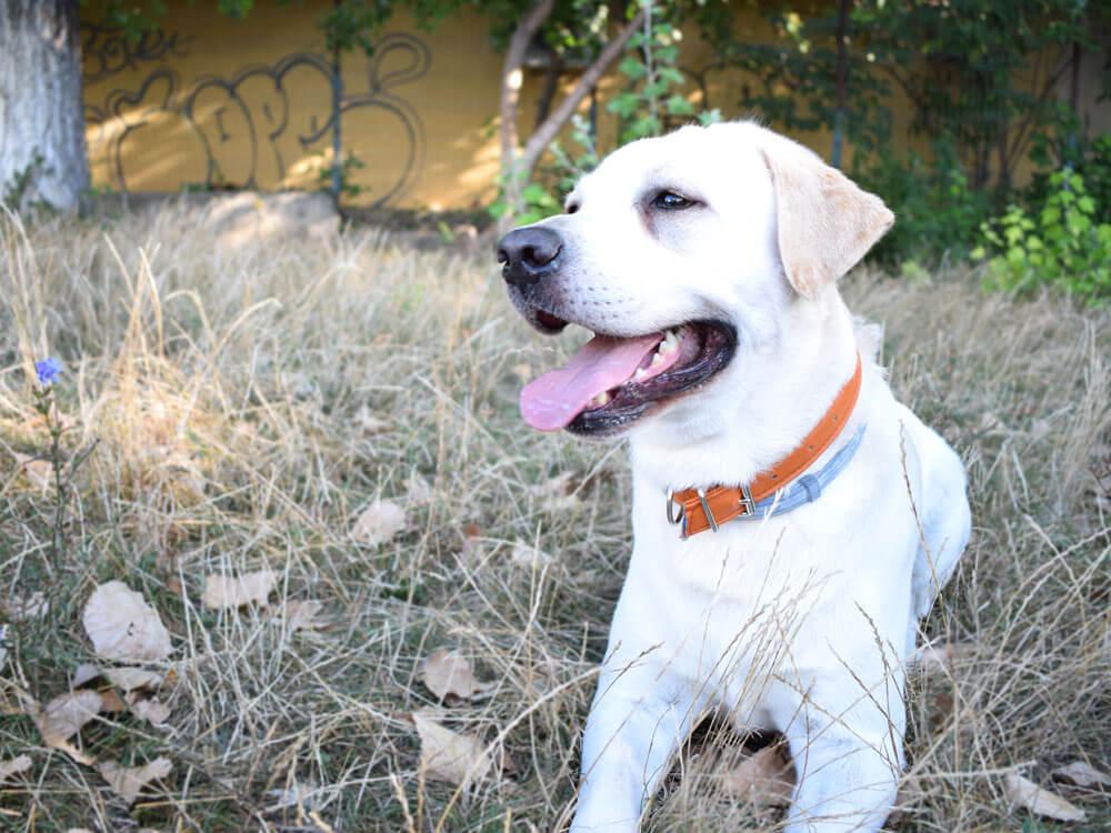 labrador retriever, one of the cuddliest dog