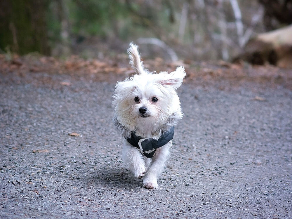 Maltese, one of the best small dogs.