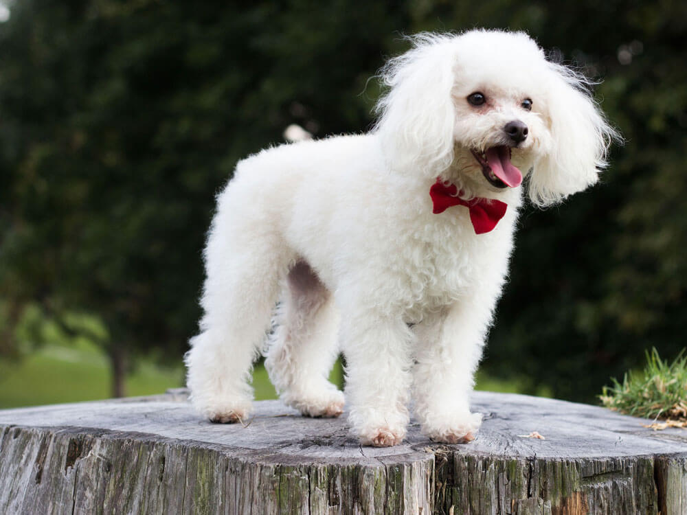 Poodle, one of the best small dogs.