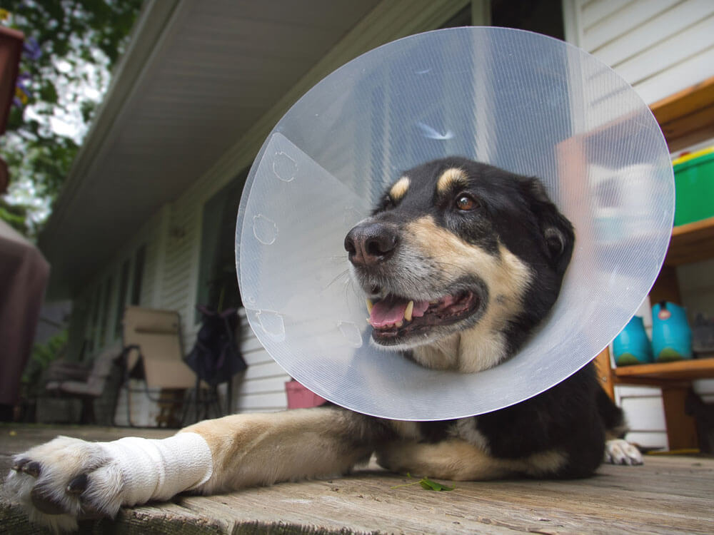 A dog wearing cone collar after undergoing spay surgery