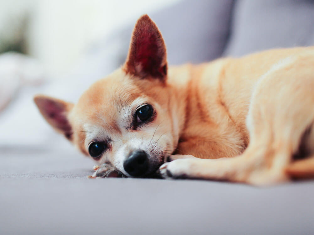 Pyometra In Dogs Signs And Treatments Uk Pets