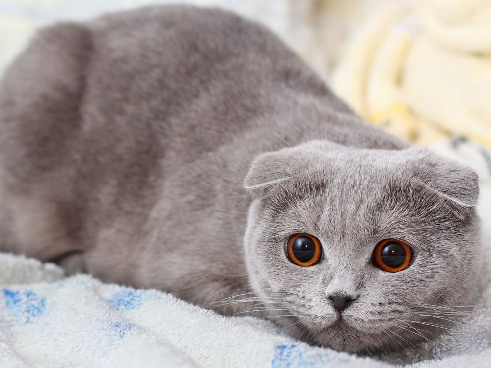 scottish fold, one of the smartest cat breed