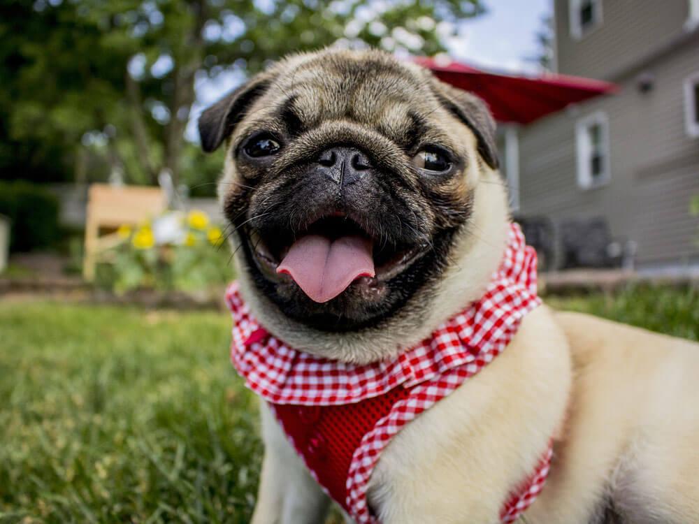 Pug, a child-friendly small dog.