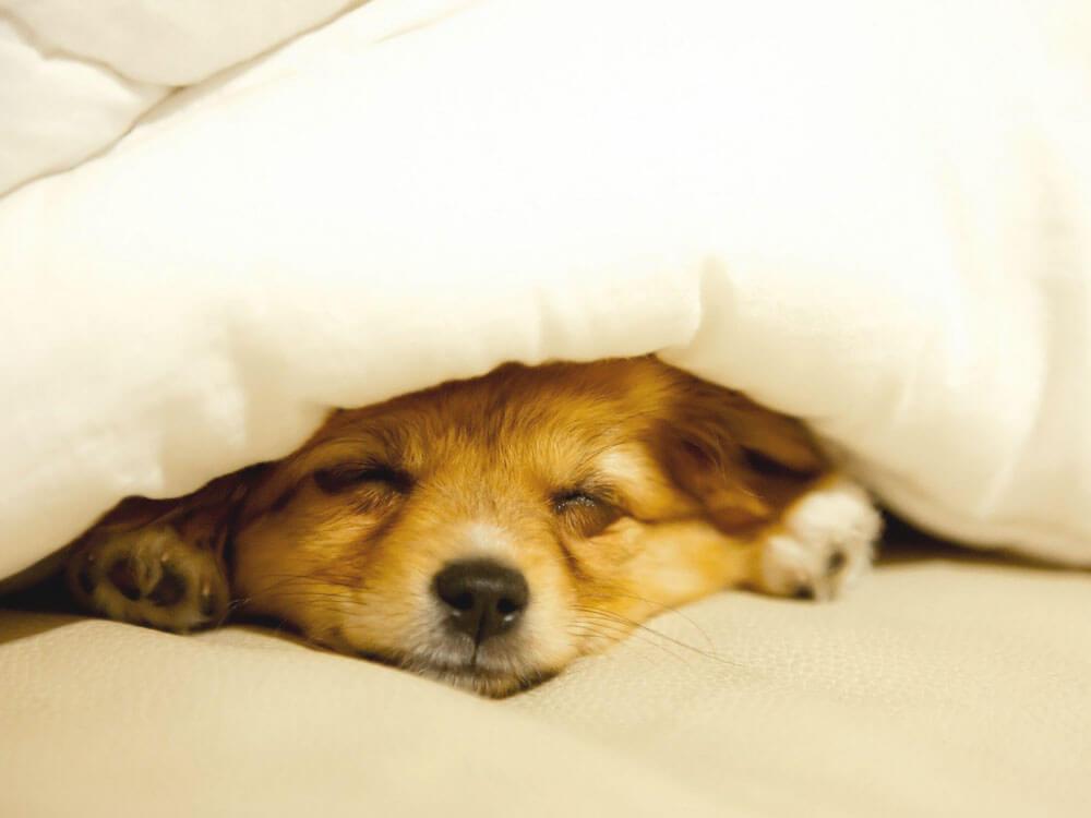 a sleeping dog having a fever due to pyometra