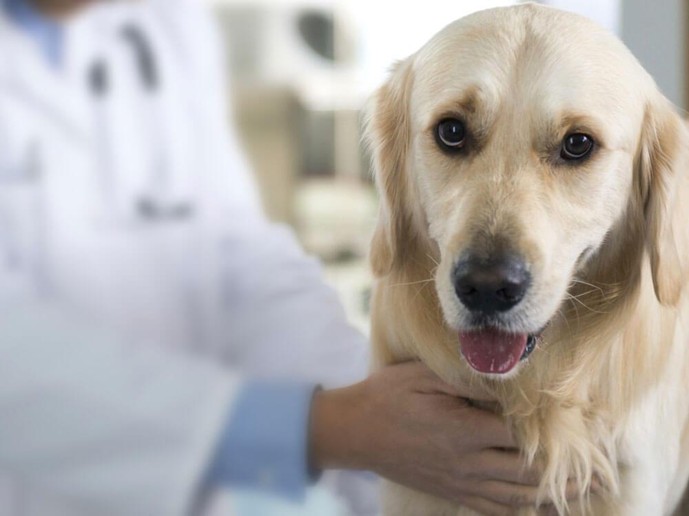 a dog with pyometra having a treatment at the vet