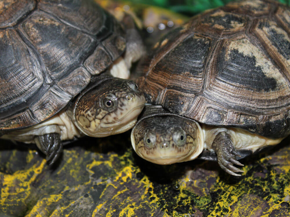 A must-know things before getting an African aquatic sideneck turtle pet