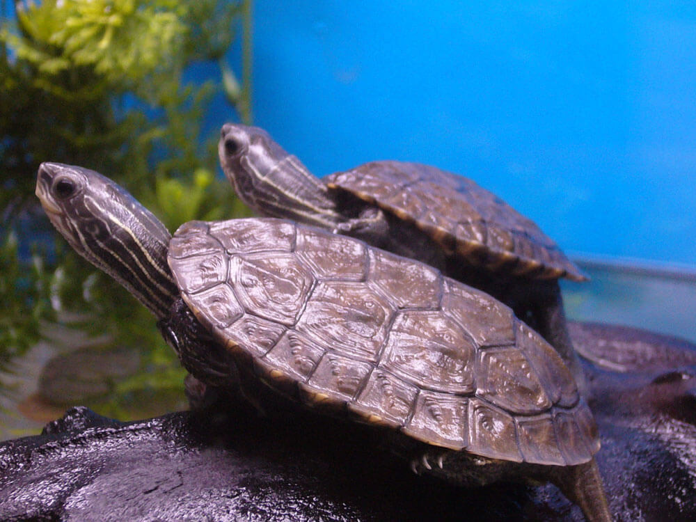 A must-know things before getting a Caspian pond turtle