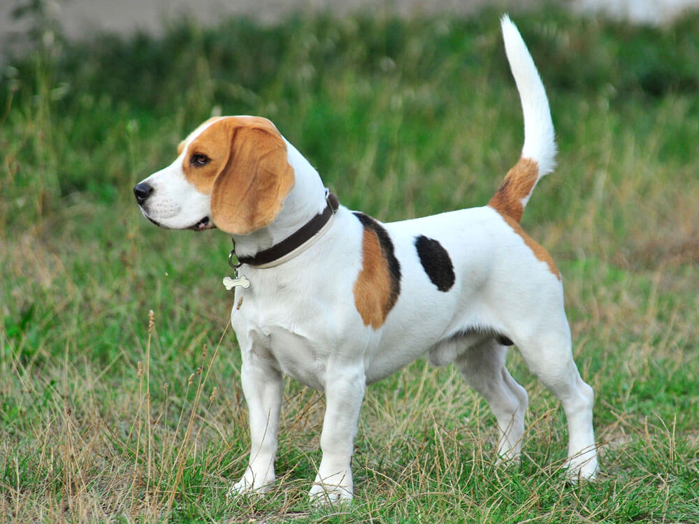 Beagle dog, one of the best pet for kids