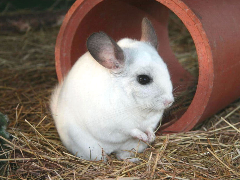 a behave chinchilla still awake at night