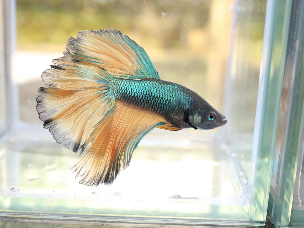Beta fish, one of the best pet for kids