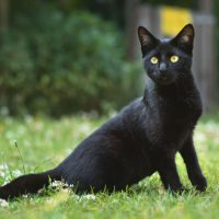 5 Black Cat Breeds: Which Black Cat Is Your Purrfect Match?
